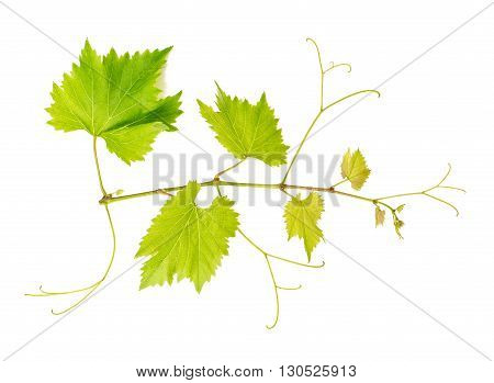 Grape vine leaves isolated on white background. Vine branch. Nature object