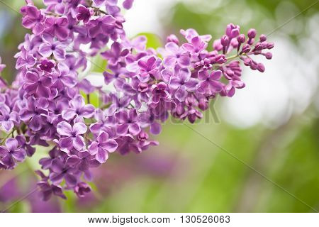 Violet Lilac flowers.  green background. springtime in the garden