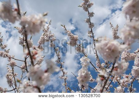 Cherry blossom or  Sakura flower with blue sky and clouds.
