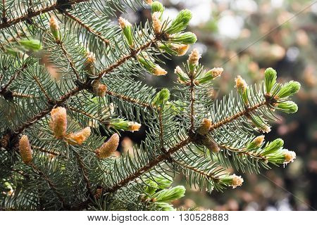 Growing up concept. Evergreen pine tree branch with young shoots and fresh green buds, needles.