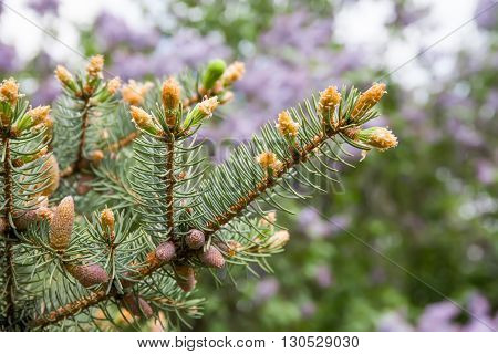 Evergreen spruce branch with young buds. Spring nature concept. macro view needle bud