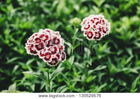 Couple of pink carnations in a green garden