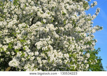 Apple tree flowers at sunny spring day.