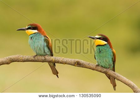 Pair of bee-eaters perched on a branch looking at the same side