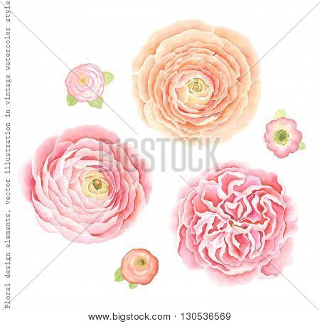 Collection Ranunculus and English roses for your design, vector illustration in vintage watercolor style.