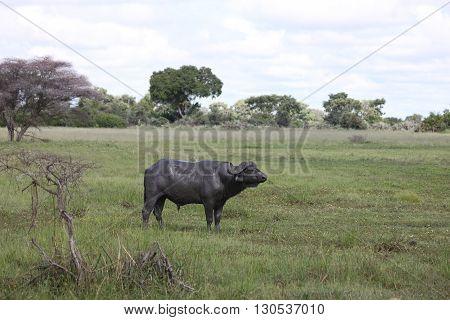 Wild Africa Botswana Savannah African Buffalo Animal Mammal