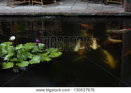 koi carp and lotus green leaves in pond