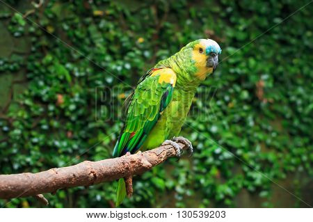 Single Blue-Fronted Amazon (Amazona aestiva) sitting on a tree branch