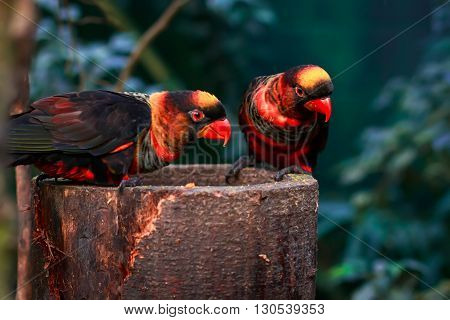 dusky lory (Pseudeos fuscata) sitting together on a platform