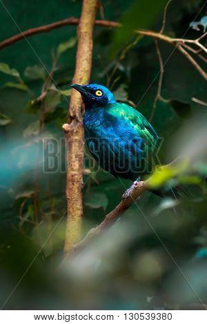 single superb starling bird (Lamprotornis superbus) closeup