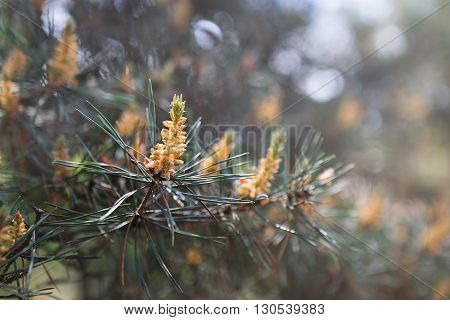 Pine tree with green pine branches. Pine tree needle leaves. Closeup. Pine tree needle. Pine tree needles background. Evergreen tree. Branches of coniferous tree. Sunlight in pine forest at spring