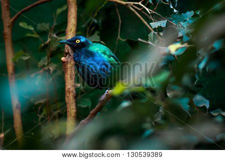 superb starling (Lamprotornis superbus) on a tree closeup