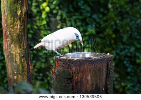 The Bali myna (Leucopsar rothschildi), also known as Rothschild's mynah, Bali starling, locally known as Jalak Bali