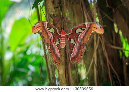 Atlas moth (attacus atlas) sitting on it's cocoon closeup