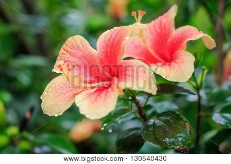 Pink Chinese hibiscus ( Hibiscus rosa ) closeup