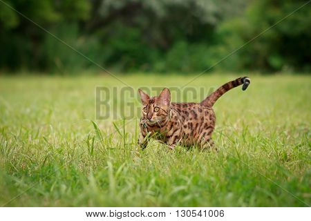 A single bengal cat in natural surroundings