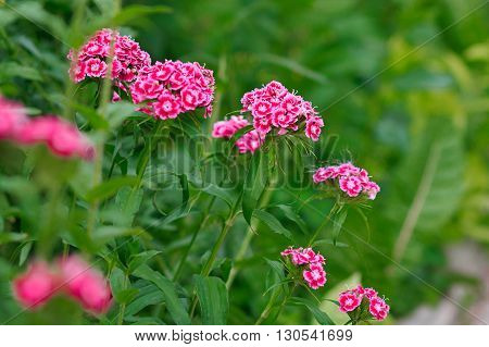 Bright pink carnation in a field closeup