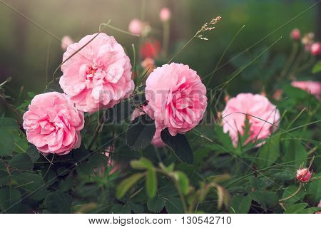 Garden pink fragrant roses on blurry background