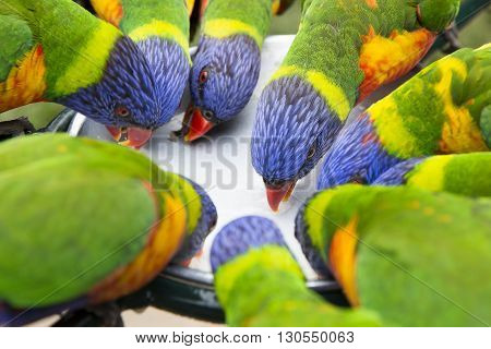 A group of Australian colourful blue, green and red rainbow Lorikeets closeup