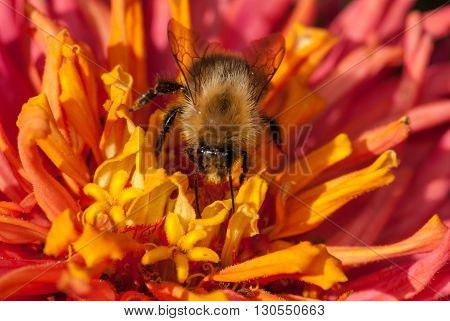 bee on the red orange flower gathering pollen.