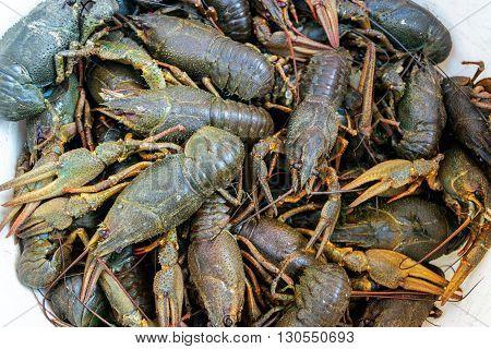 A large number of live crayfish closeup. Astacus astacus