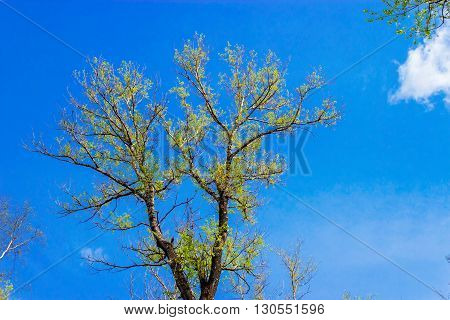 View up at the sky and the branches of spring poplar