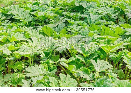 Lush green thickets of Sosnovsky hogweed in spring time