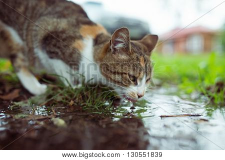 A stray cat drinking water from  puddle.