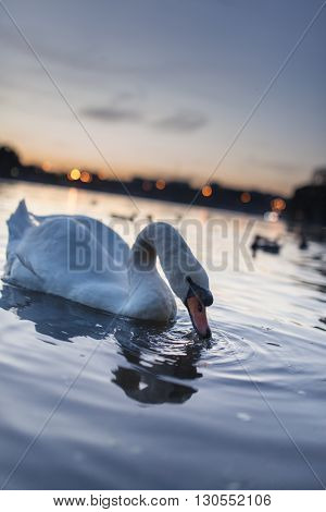 Swan cygnus swimming during a golden sunset on a beautiful magical blue lake in the evening with beautiful reflection on the water.
