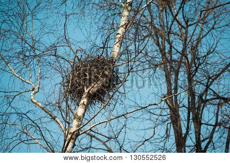 Spring  bird's nest in a birch tree with sky background