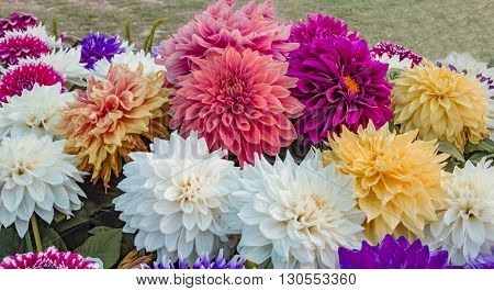 Mixed dahlia flowers on display in the park.