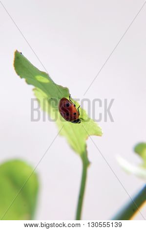 lady bird leaf green insect sunlight on it