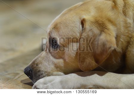 cute Labrador pet buddy looking sweetly seems upset