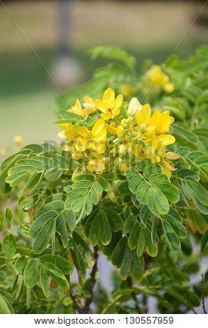 Flower of Scrambled Egg Tree - Senna surattensis Burm
