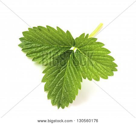 Young green leaf of strawberry on a white background. Shamrock. Fresh green leaf with veins.