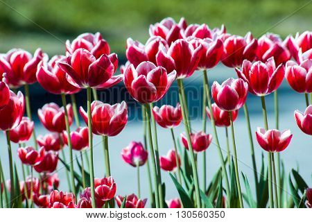 Tulip. Beautiful bouquet of tulips. colorful tulips. tulips in springcolourful tulip