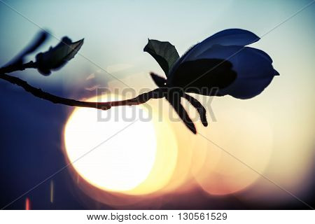 Magnolia Flower Silhouette Over Evening Sky