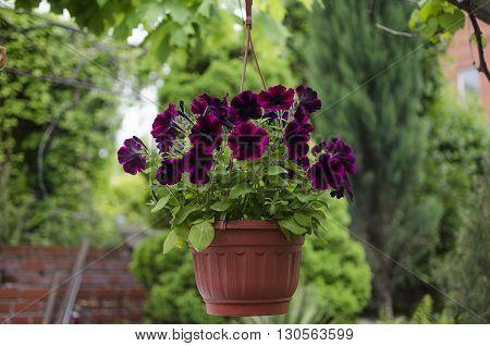Petunias blooming in flowerpot outdoor in garden
