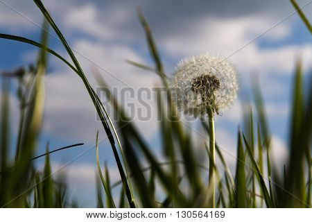 Close Up Of A Dandelion In Long Grass