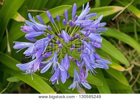 Closeup photo of Lily of the Nile, also called African lily flower, in purple blue shade (Agapanthus) in Australia