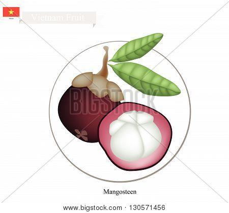 Vietnam Fruit Illustration of Ripe Mangosteens. One of The Most Popular Fruits in Vietnam.