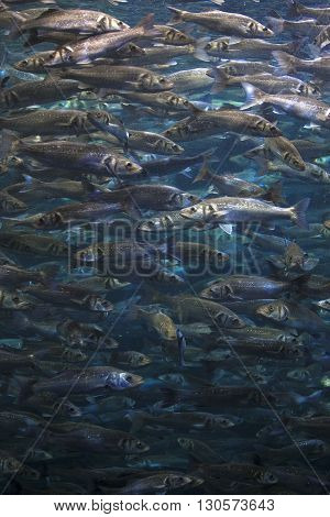 Fish School Shoal In Blue Ocean