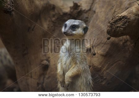 Meerkat standing on the stone. animal instincts