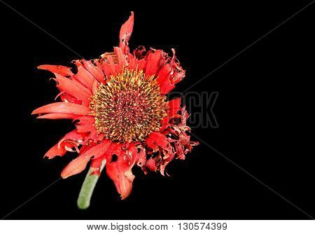Beautiful Red dahlia withered flower with petals ready to fall isolated on a black background