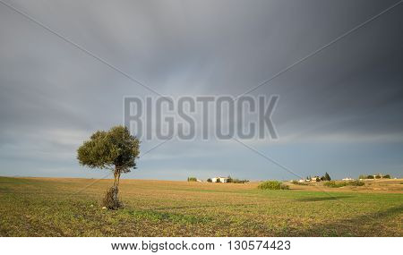 lonely olive tree on a wheat field with green grass and with moving clouds. Long Exposure photo.