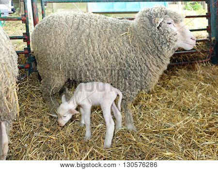 Newborn Lamb With Ewe Mother in Pen at Farm