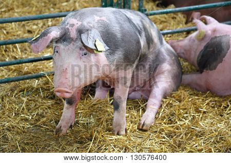 Big Pig Sitting in Sty at Farm