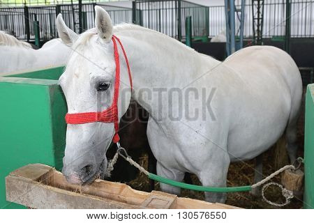 White Horse in a Box Stall Inside a Stable.