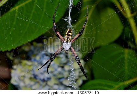 Colorful garden spider in zig zag pattern web
