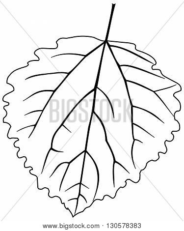 leaf aspen poplar ,Populus tremula,vector isolated aspen poplar leaf